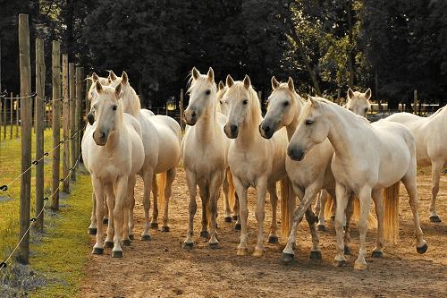 Bild 2 Camargue-Pferde-Hof Wesendahl